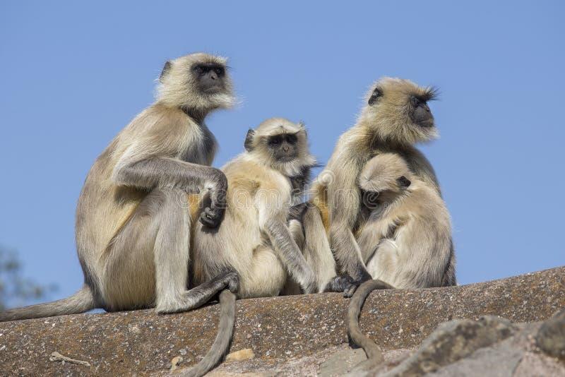 Langur małpia rodzina w miasteczku Mandu, India obraz royalty free