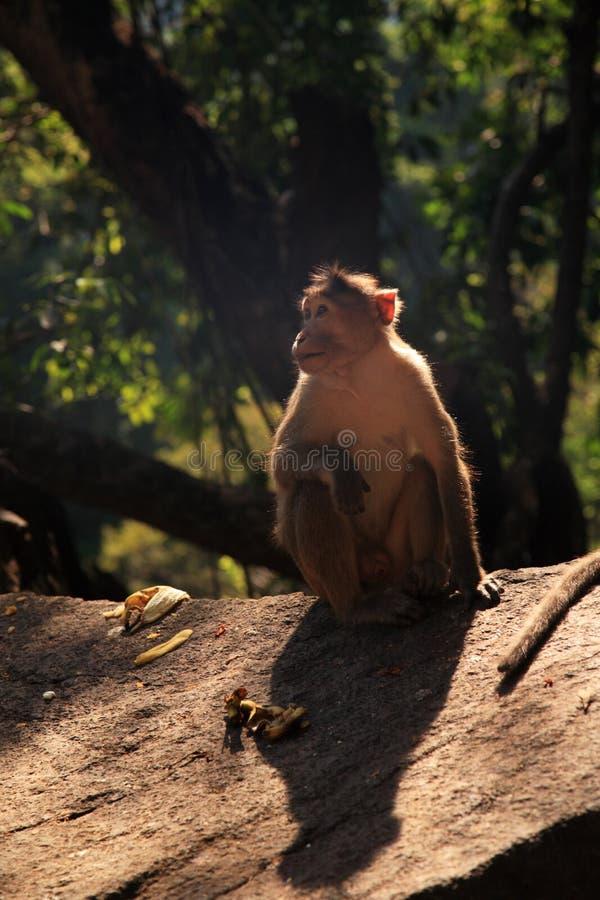 Langur Monkey, Goa, India royalty free stock photos