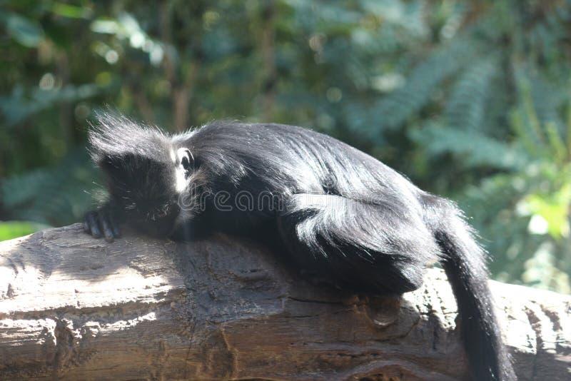 Langur napping стоковое изображение