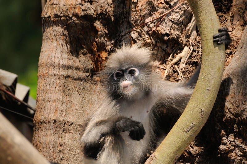 Langur obscuro novo selvagem, macaco obscuro da folha, langur de óculos, obscurus de óculos de Trachypithecus do macaco da folha  fotos de stock royalty free