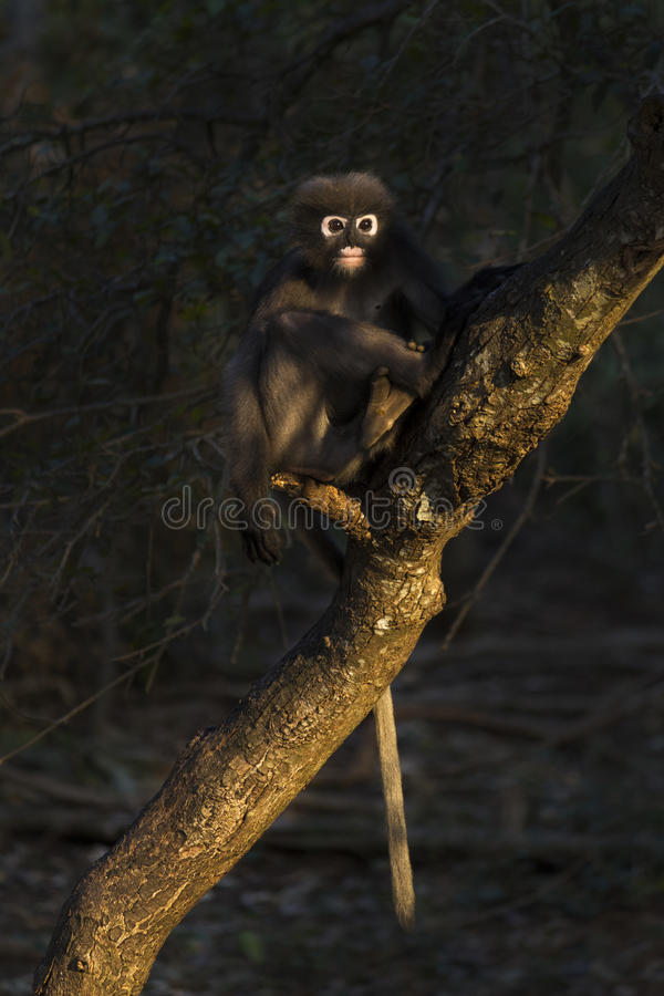 Langur ou obscurus sombre de Trachypithecus images stock
