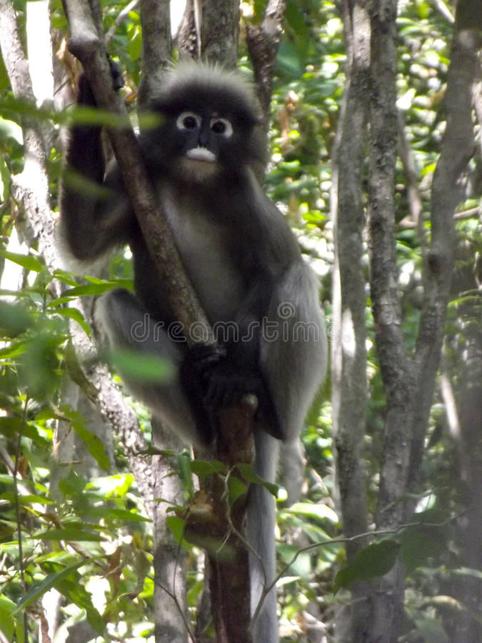 Langur sombre photos stock