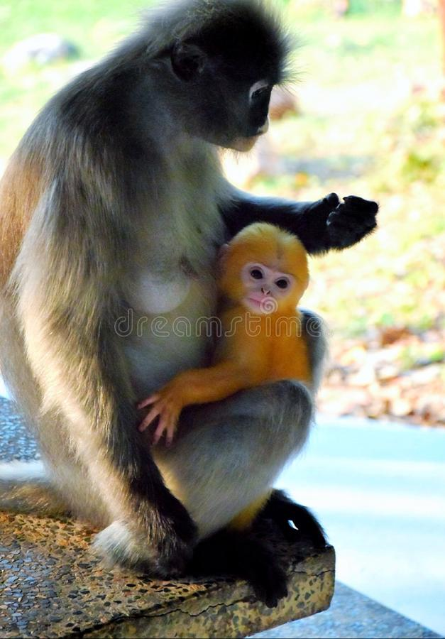 Langur sombre de LangurSpectacled photographie stock libre de droits