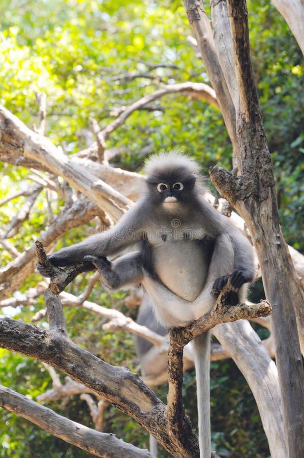 Langur sombre sauvage, singe sombre de feuille, langur à lunettes, obscurus à lunettes de Trachypithecus de singe de feuille en T photographie stock