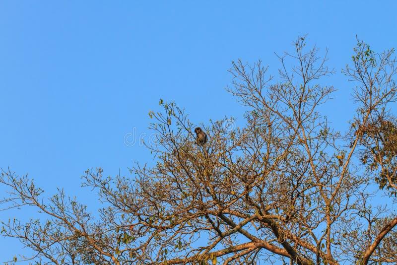 Langur sombre se reposant sur la branche d'arbre photos stock