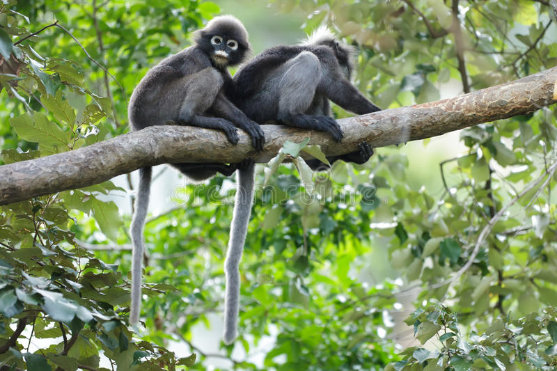 Langur Spectacled sur le branchement photos stock