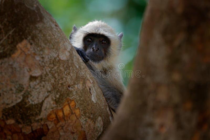 Languraap, Semnopithecus-entellus, aapzitting in boom, aardhabitat, Sri Lanka Het voeden scène met langur Het wild van S stock afbeelding