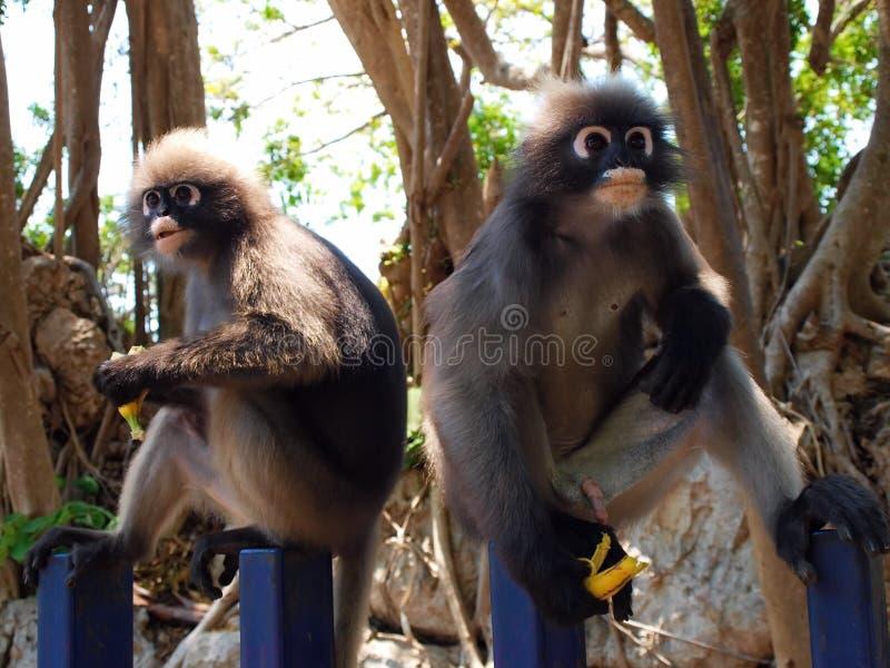 Langurs à lunettes (obscurus de Trachypithecus) mangeant la banane photographie stock