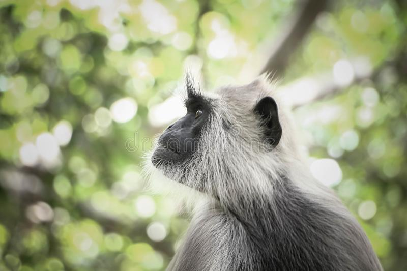 Head shot of Indian gray langur monkey in jungle royalty free stock photo