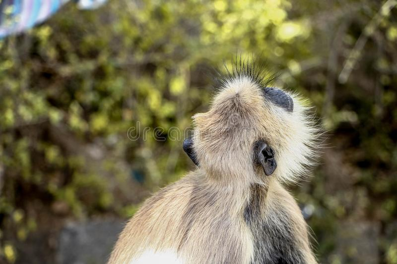 Gray langur monkey species in jungle. These langurs are largely gray some more yellowish, with a black face and ears. Externally, the various species mainly royalty free stock image