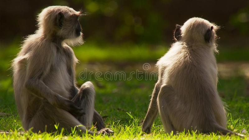 Langurs living in the city. The people here associate langurs with the Hindu god lord Hanuman and revere them, Jodhpur, India stock photography