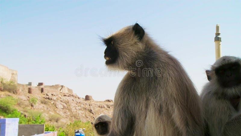 Langurs que vivem na cidade Os povos aqui associam langurs com o senhor hindu Hanuman do deus e honrar-los, Jodhpur, Índia fotografia de stock royalty free