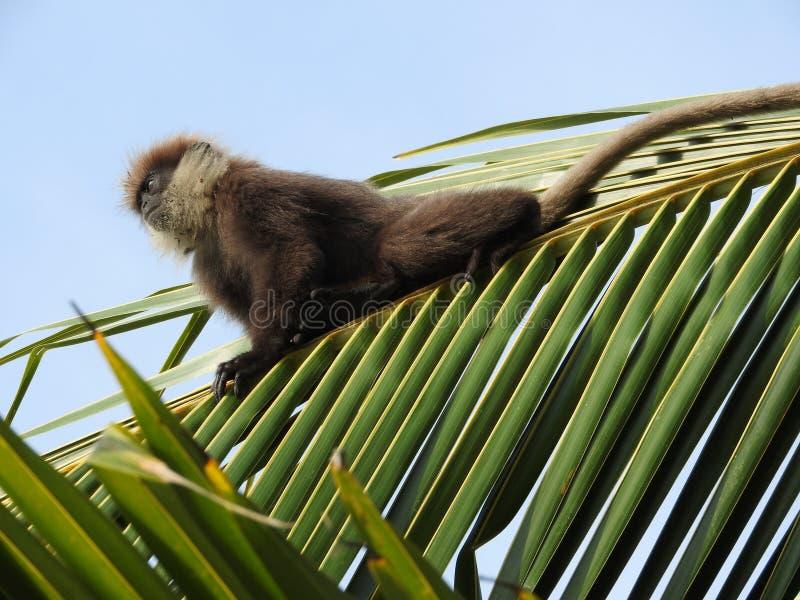 langurs Roxo-enfrentados, moter e bebê, sentando-se em uma palmeira do coco no habitat natural em Sri Lanka imagem de stock royalty free