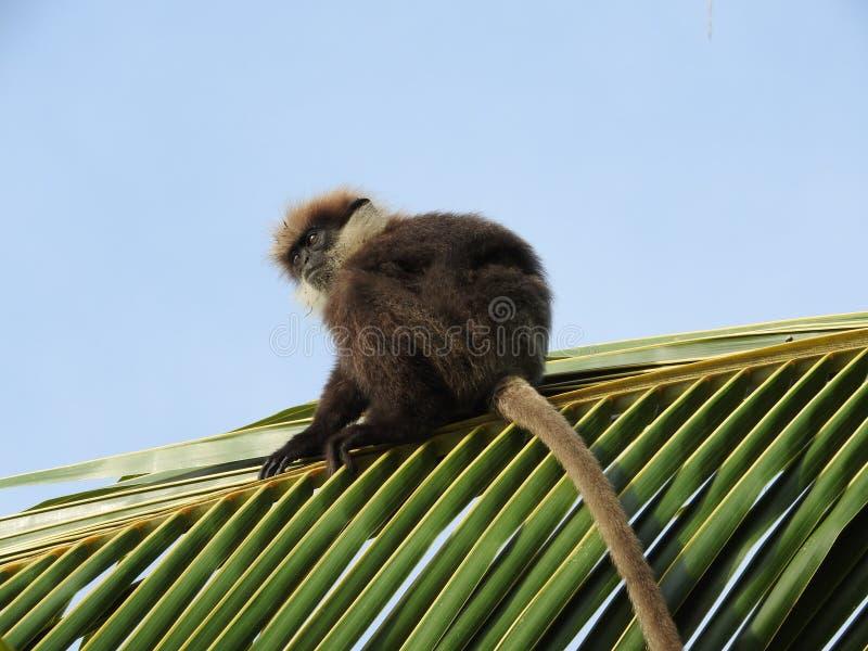 langurs Roxo-enfrentados, moter e bebê, sentando-se em uma palmeira do coco no habitat natural em Sri Lanka fotos de stock royalty free