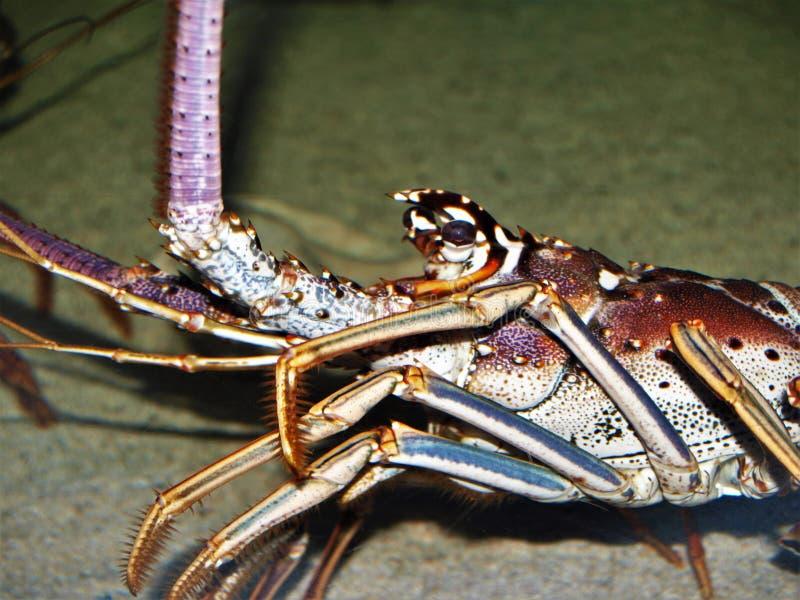 Languste bei Nord-Carolina Aquarium stockbild