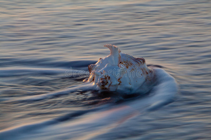 Shell van de kroonslak in oceaangolf stock afbeeldingen