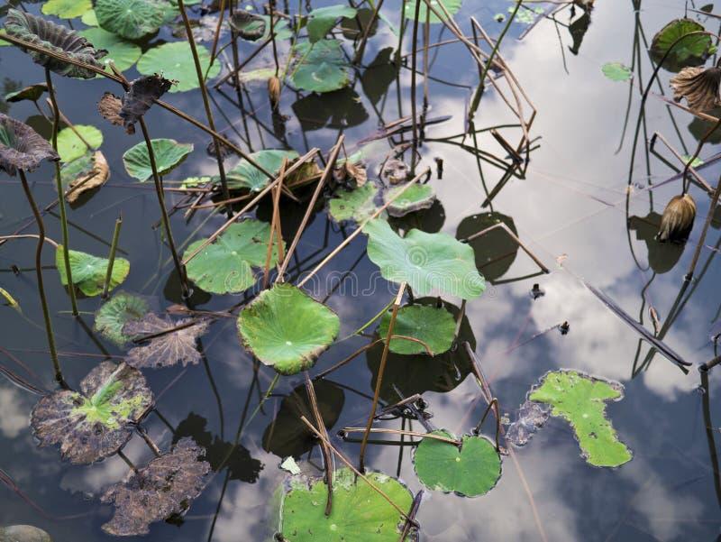 Langzaam verdwenen lotusbloemvijver royalty-vrije stock fotografie