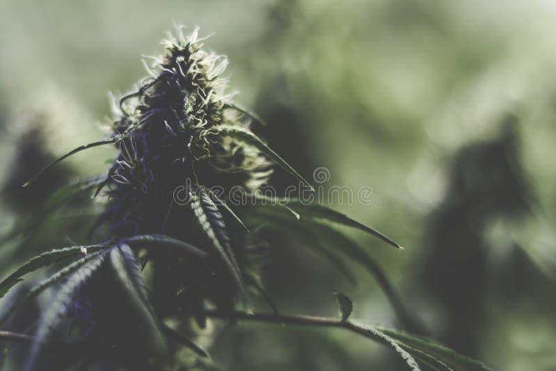 Langzaam verdwenen onduidelijk beeld als achtergrond van marihuanaknop royalty-vrije stock foto's