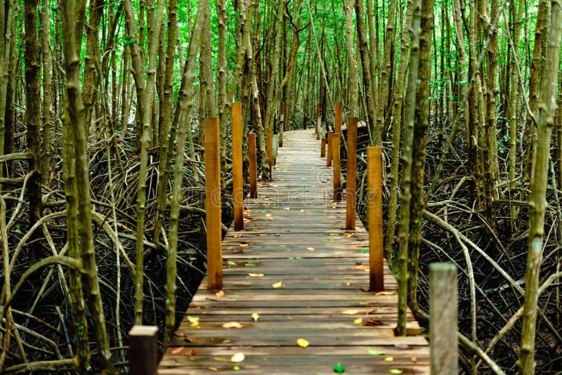 Lanière de fourche de Tung - promenade de forêt de palétuvier chez PAK Nam Krasaeg photos libres de droits