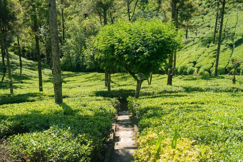 lanka种植园sri茶 生长在一个工业规模的茶 免版税库存图片