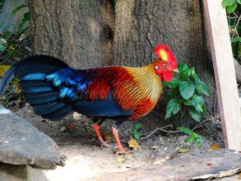 Lankan djungelfågel för lös fjäderfä sri arkivfoto
