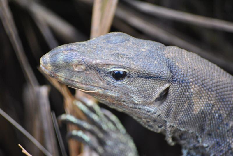 lankan jaszczurki monitoru sri zdjęcie royalty free