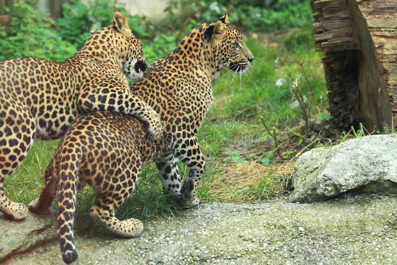 Lankan leopards Sri στοκ εικόνες με δικαίωμα ελεύθερης χρήσης