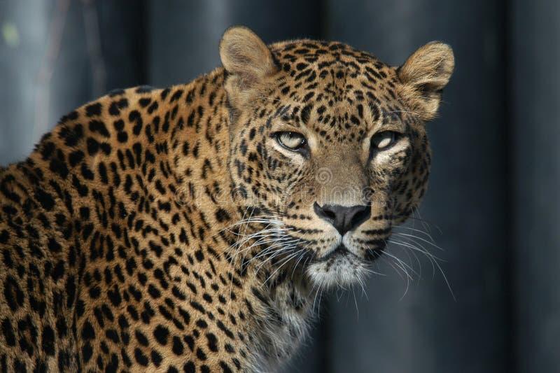 lankan leopardsri royaltyfri fotografi