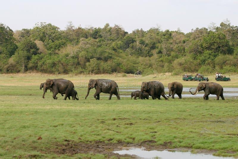 lankan sri ελεφάντων στοκ εικόνες