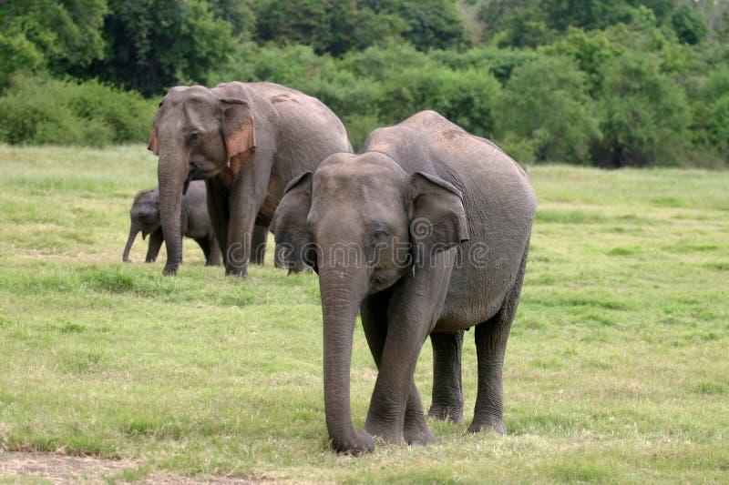 lankan sri ελεφάντων στοκ φωτογραφία