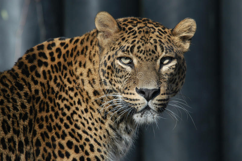 lankan sri леопарда стоковая фотография rf