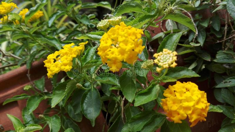 Lankijczyków kwiaty obraz stock