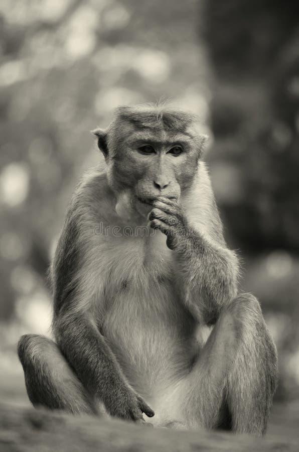 Lankijczyk małpa w Polonnaruwa fotografia stock