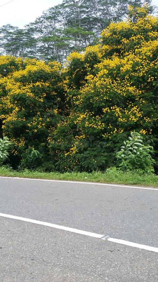 Lankijczyka fiower drzewo Abeautiful drzewo obraz royalty free