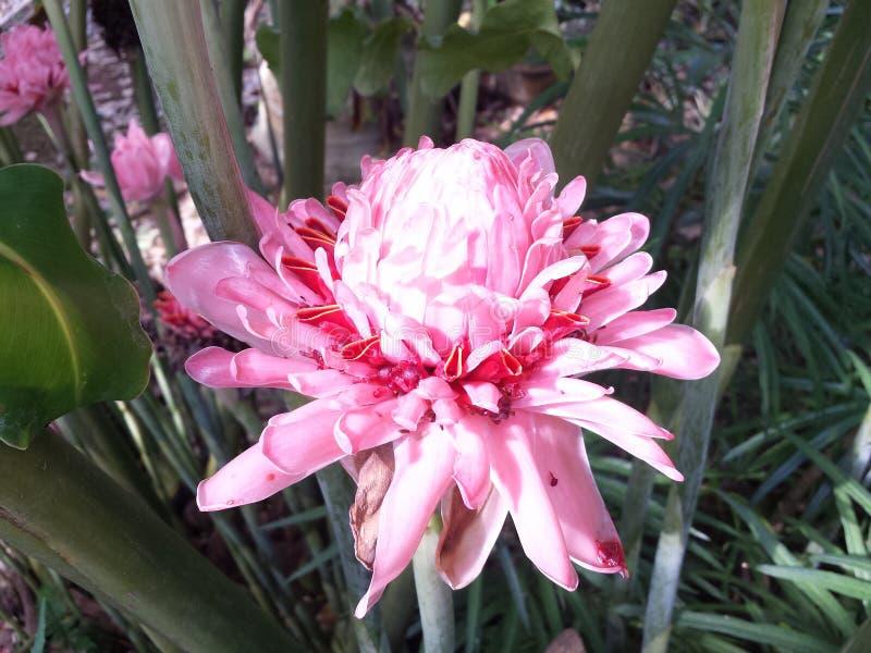 Lankijczyka kwiatu menchii ogienia rzadki kwiat obrazy royalty free