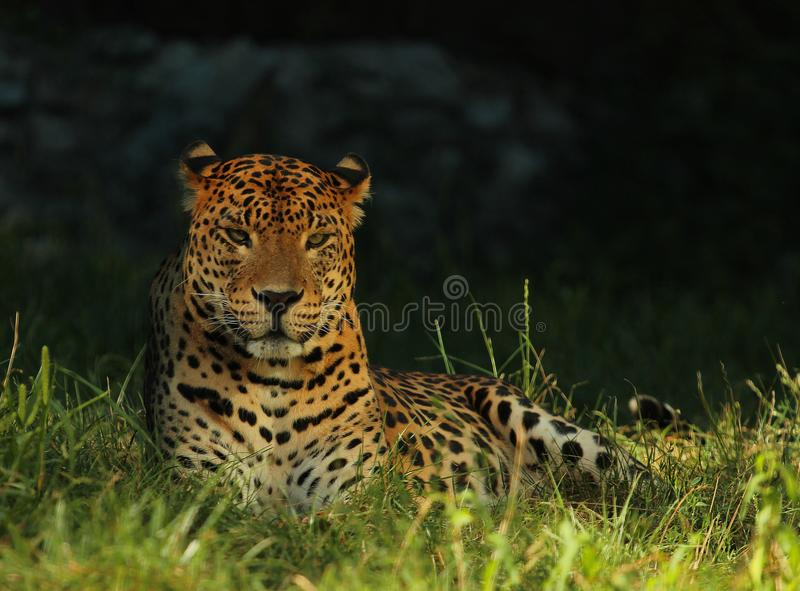 Lankijczyka lampart lub Ceylon lampart Panthera pardus kotiya kłama słońce i cieszy się fotografia stock