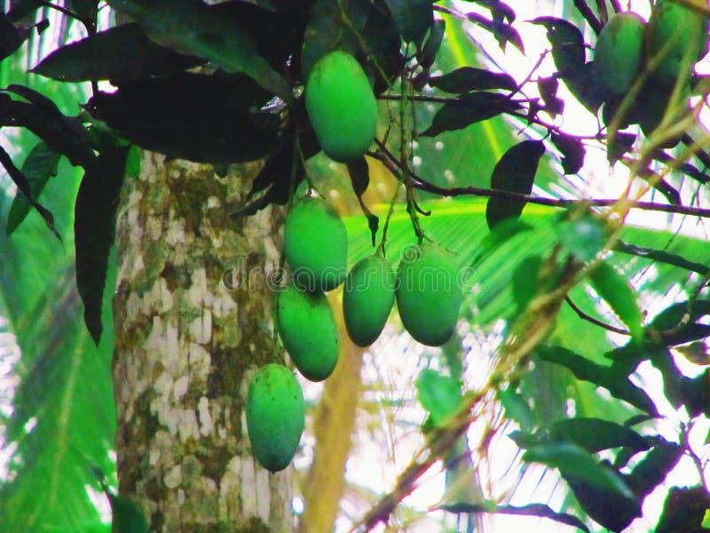 Lankijczyka mango obrazy stock