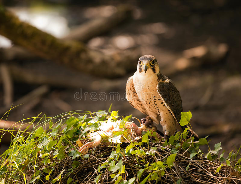 Lanner Falcon Royalty Free Stock Photography
