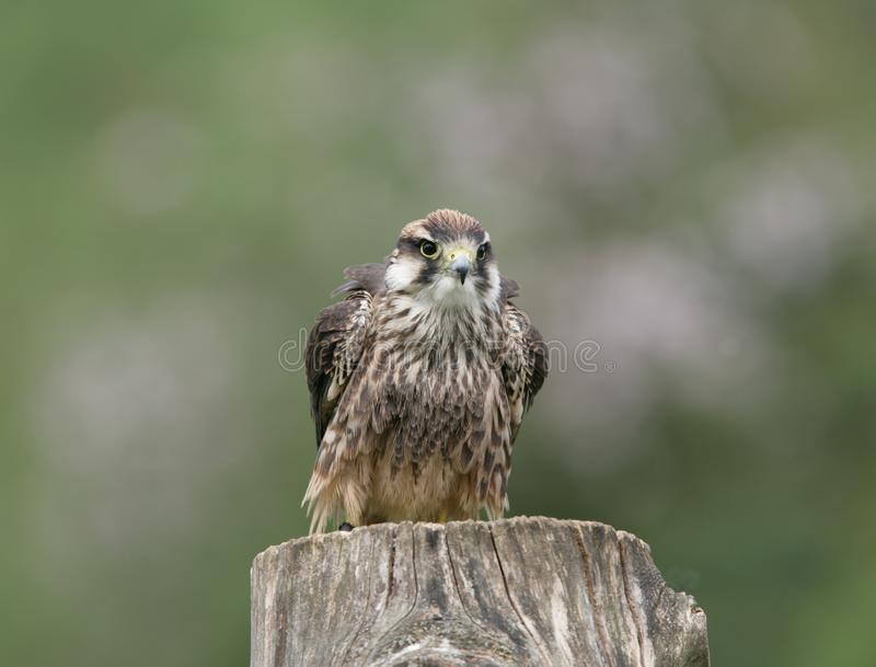 Download Lanner Falcon stock photo. Image of bird, countryside - 8465244