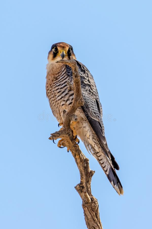 Lanner Falcon on blue background royalty free stock images