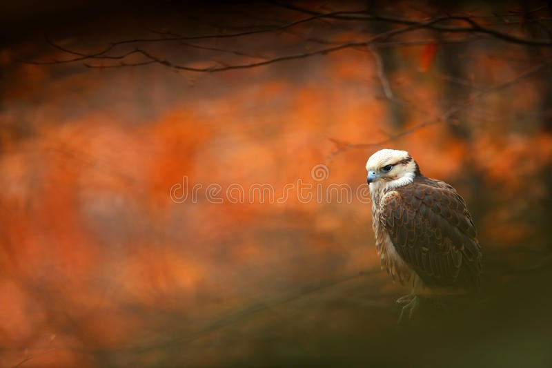 Lanner Falcon, Falco biarmicus, bird of prey sitting on the stone, orange habitat in the autumn forest, rare animal, France royalty free stock image