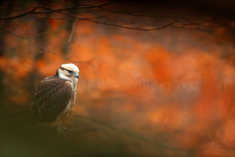 Lanner Falcon, Falco biarmicus, bird of prey sitting on the stone, orange habitat in the autumn forest, rare animal, France stock image