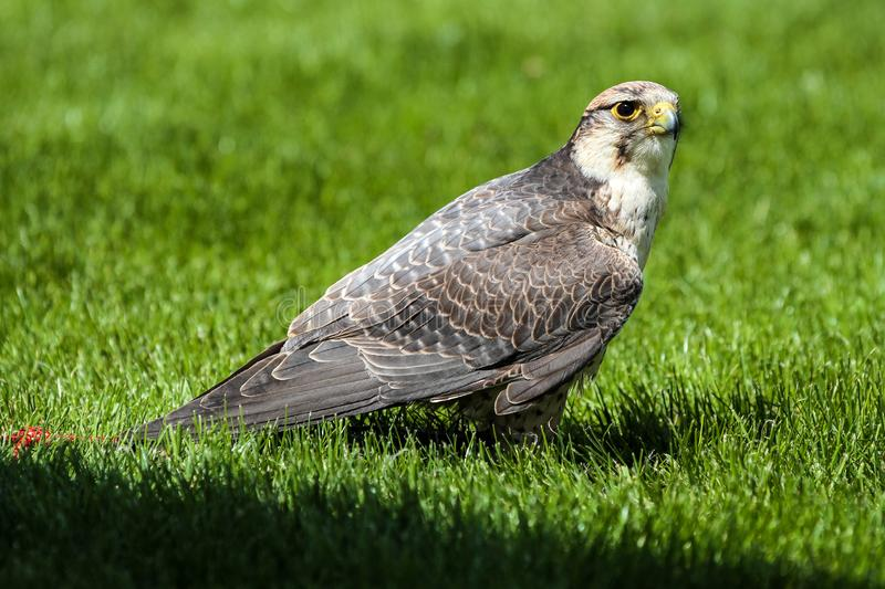 The lanner falcon, Falco biarmicus in a german nature park stock photo