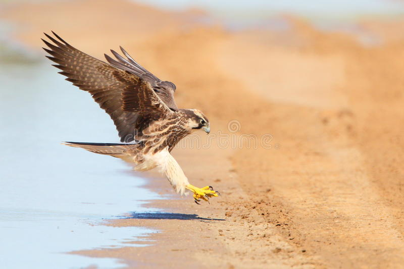 Lanner Falcon in flight landing near water. Photographed in the Kalahari