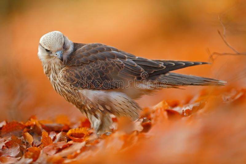 Lanner Falcon, rare bird of prey with orange leaves branch in autumn forest, Spain royalty free stock photography