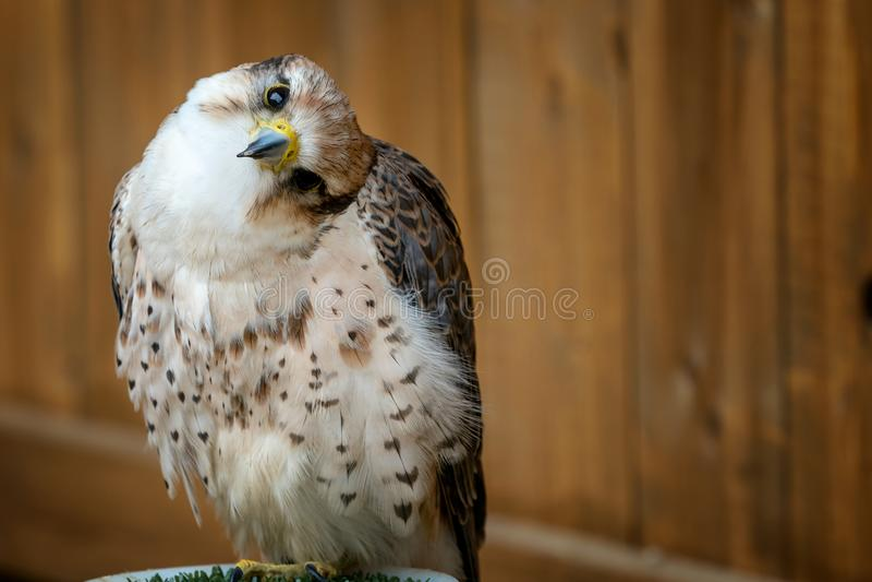 Lanner falk, Falco biarmicusfågel royaltyfria foton