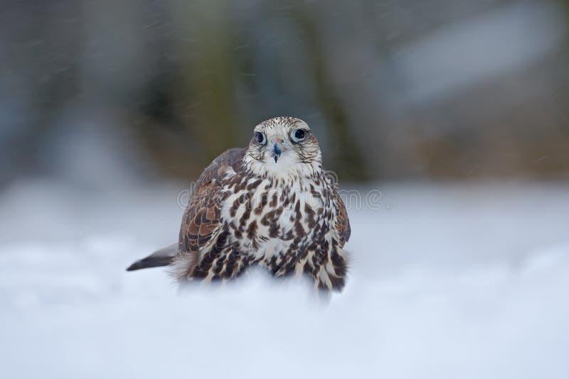 Lanner jastrząbek, ptak zdobycz z płatkiem śniegu w zimnej zimie, śnieg w lesie, zwierzę w natury siedlisku, Francja obraz stock