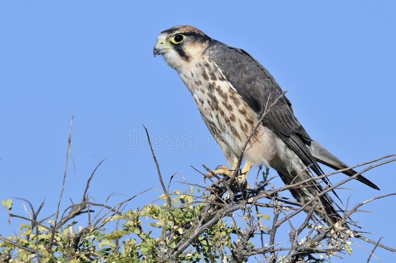 Lannervalk, Lanner jastrząbek, Falco biarmicus fotografia stock