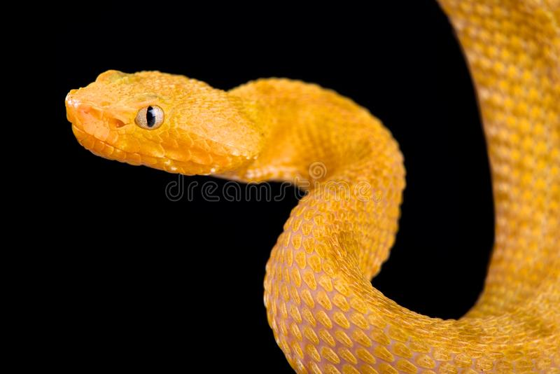 Lansberg`s gold hognosed pitviper Porthidium lansbergii rozei. Is an uniquely colored snake species endemic to Venezuela stock images