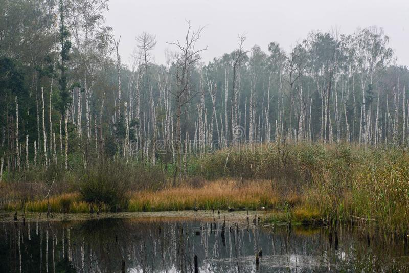 Lanscape падения с деревьями березы и болото pond стоковая фотография rf